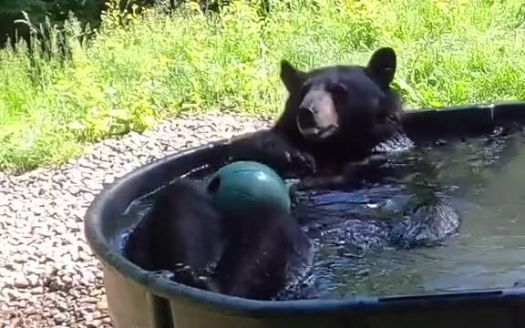 俄勒冈动物园的一只黑熊洗澡