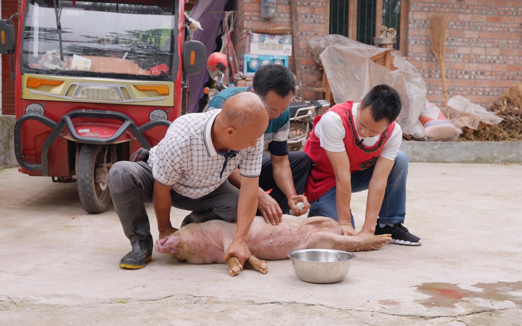 """""""阉猪""""是门技术活,我和四伯打辅助,看手艺人如何施展传统绝技"""