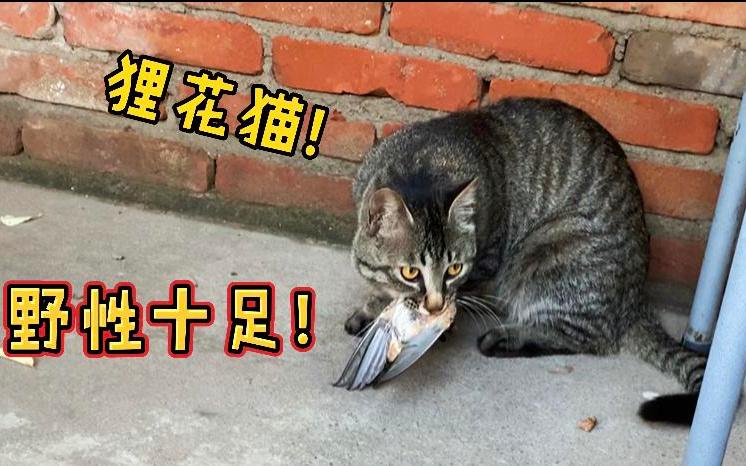 农村散养狸花猫,不愧是捕猎小能手,野性十足!