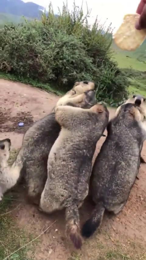 土拨鼠怎么跟一群小孩子一样