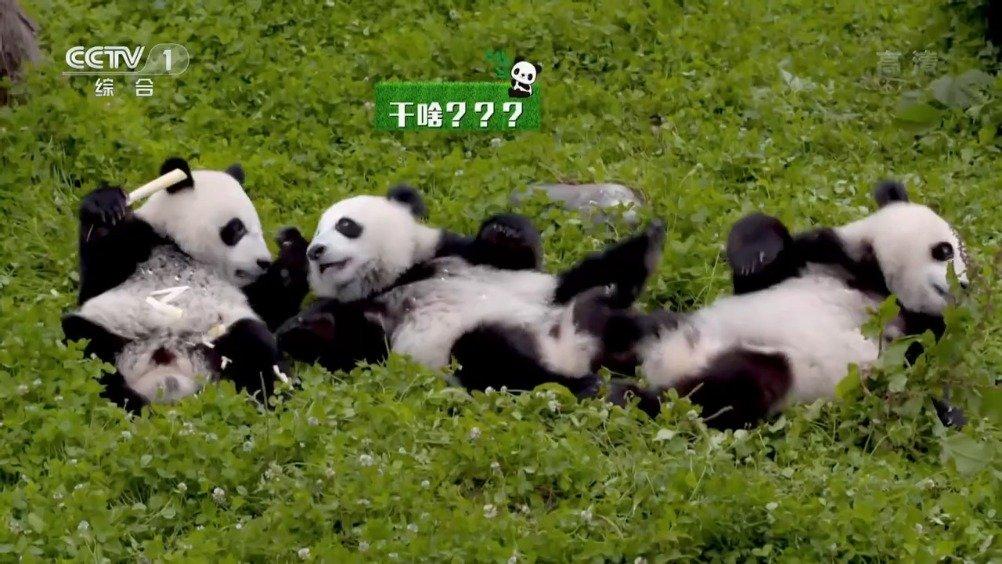村民用四川话向遛弯大熊猫打招呼