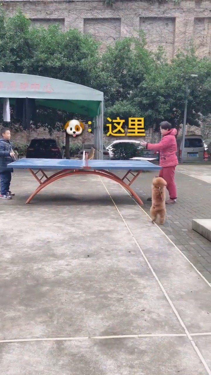 事实证明,狗子对球真的是没有抵抗力![允悲] #谜之微笑